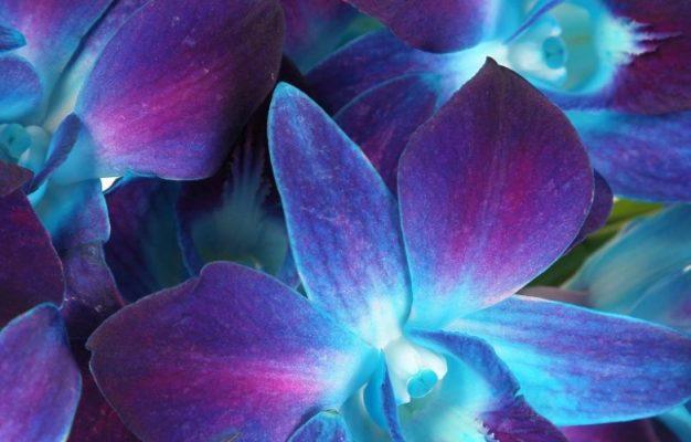 Orquidea azul dermosalud